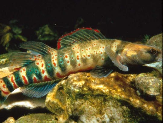 An endangered Niangua darter fish, which lives in some