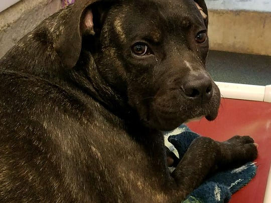 Meet Whopper Bailey, a playful 1-year-old Mastiff mix,