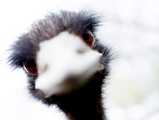 An emu peeks into the camera lens at Little Ponderosa