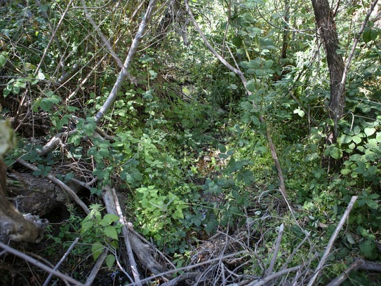 The west fork of Strawberry Creek has a minimal flow and is overgrown with vegetation.