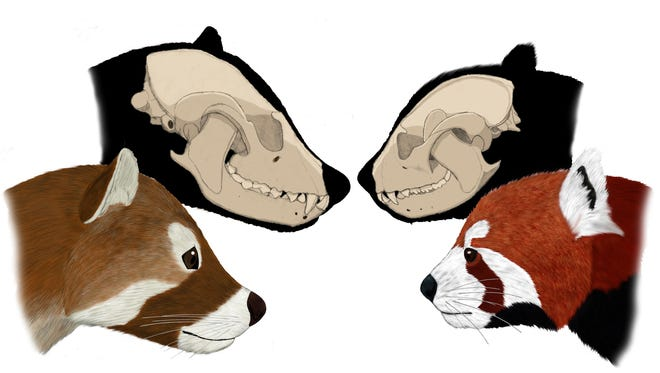 Bristol's panda is on the left, and red panda is on the right. Fossils of Bristol's panda have been found in the southern Appalachians.