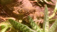 The Detroit Zoological Society hopped at the chance to save the critically endangered Puerto Rican crested tadpoles.