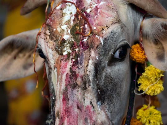 A cow looks on with coloured dyes and paste on its