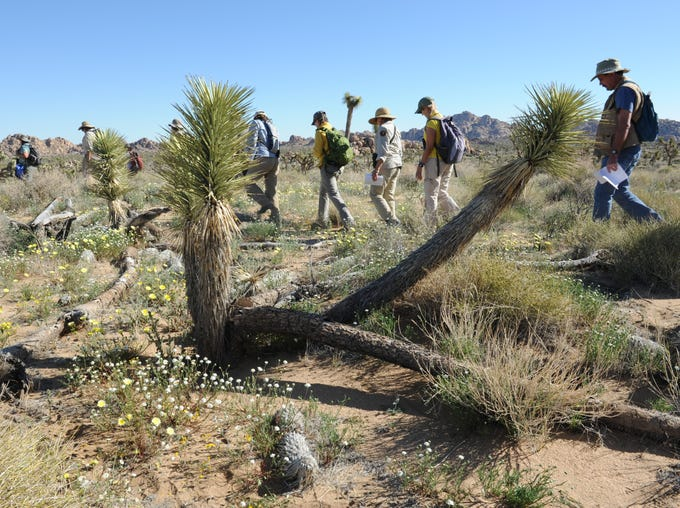Volunteers and scientists hike past a Joshua tree and wildflowers during a research outing at Joshua Tree National Park on April 13, 2014. The national park and UC Riverside's Center for Conservation Biology recently began a long-term effort to monitor changes in plants and animals in order to track the effects of climate change.