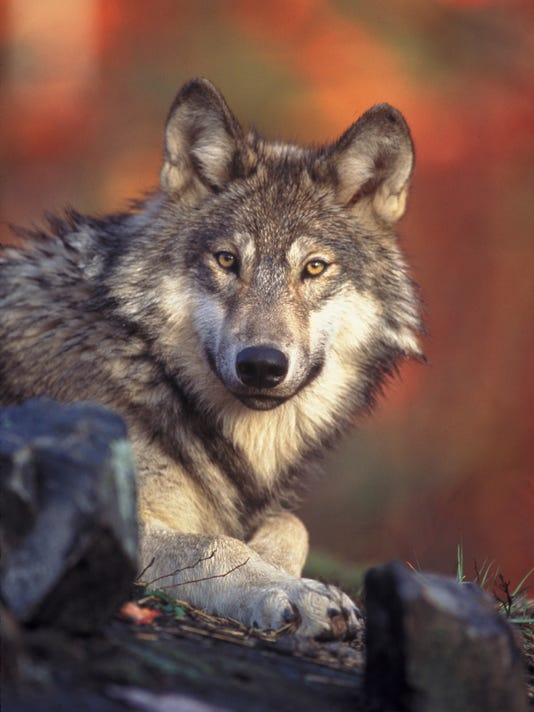 AP WOLF RELOCATION A USA
