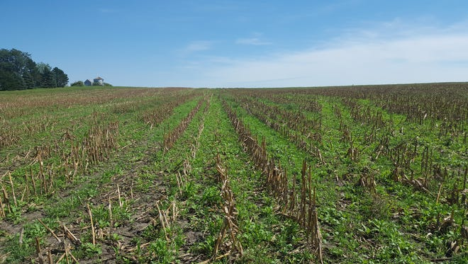 Cereal rye and radish cover crops.
