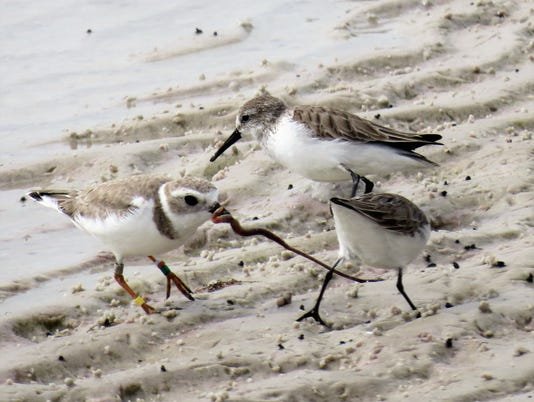 Piping-Plover-and-Western-Sandpiper.JPG