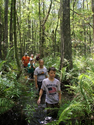 Participants walk through the Six Mile Slough Preserve on a recent swamp walk.