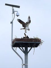 In this Monday, April 30, 2018 photo, an osprey lands