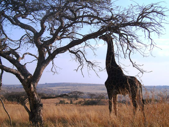 Only a giraffe browsing in tall thorny acacia trees