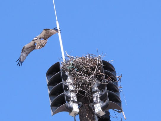 This May 6, 2014 photo shows an osprey flying away
