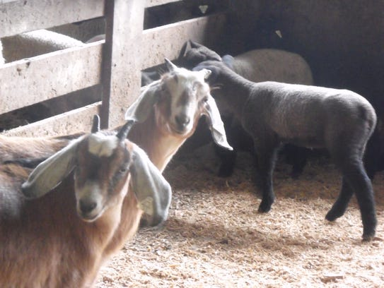Goats and lambs were available during the Easter Lamb
