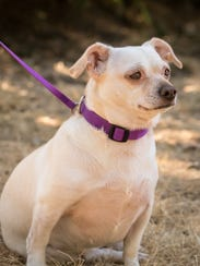 Blanche the chihuahua is available for adoption at