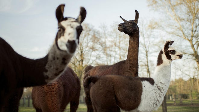 Scientists were inspired by antibodies produced by a llama named Winter to develop their synthetic antibody against SARS-CoV-2. Winter is 4 years old and lives on a farm in the Belgian countryside operated by Ghent University's VIB Center for Medical Biotechnology.