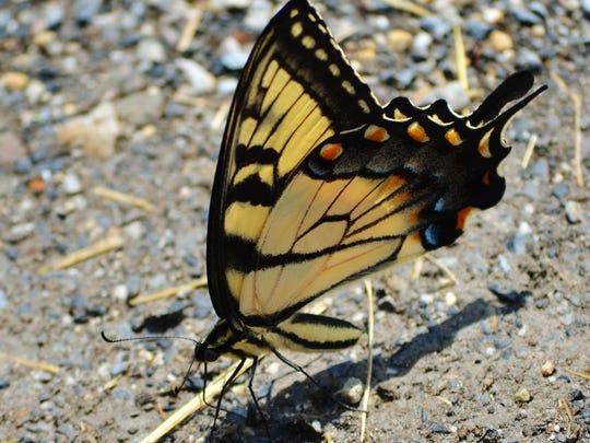 Arlene Hart worked tirelessly with butterflies of all species.