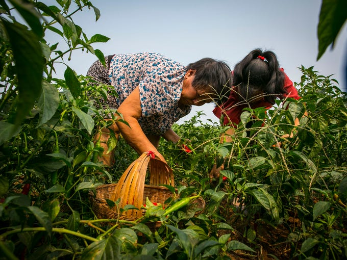 Organic chile peppers are harvested by hand in a field