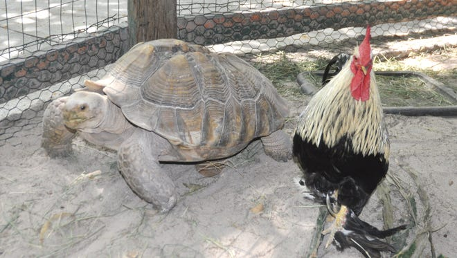 Big Foot the Rooster and Zeus the Tortoise are an unlikely couple at the Everglades Wonder Gardens.