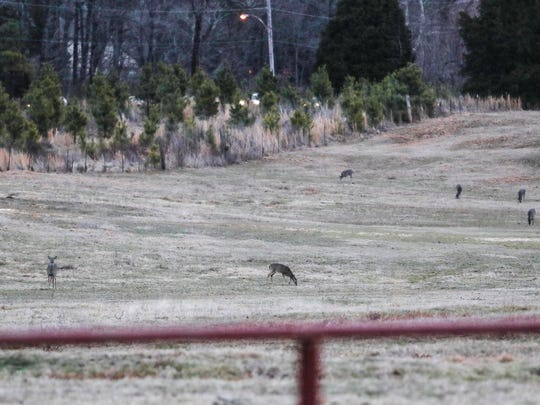 February 01, 2018 - Deer begin to feed as light fades in Shelby Farms Park.