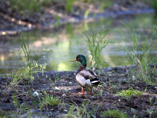 A mallard duck finds water in Agua Fria National Monument