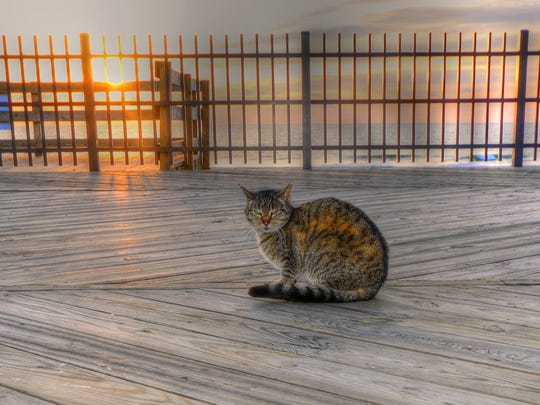 A feral cat on the Seaside Heights boardwalk.
