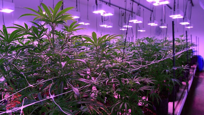 Mature plants flower under LED lights at the Silver State Relief medical marijuana grow facility in Sparks.