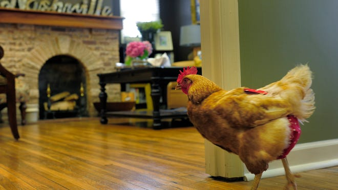Henry (a she), affectionately known as the Music Row Chicken, lives in Lori Puryear and Greg Fairbetter's home in Nashville.