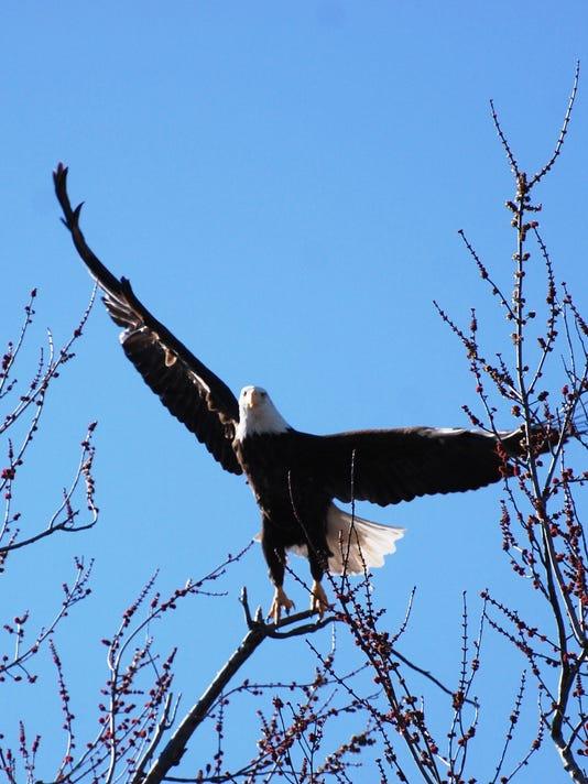 It\'s eagle season at Reelfoot Lake