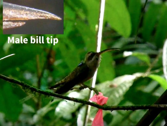 A long-billed hermit hummingbird involved in studies