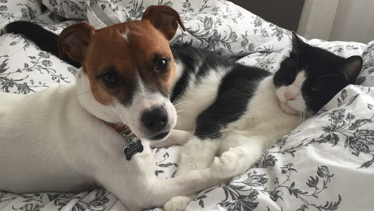Colby the Jack Russell and Cookie the cat have a way