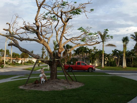 This Royal Poinciana tree that was blown over in Hurricane
