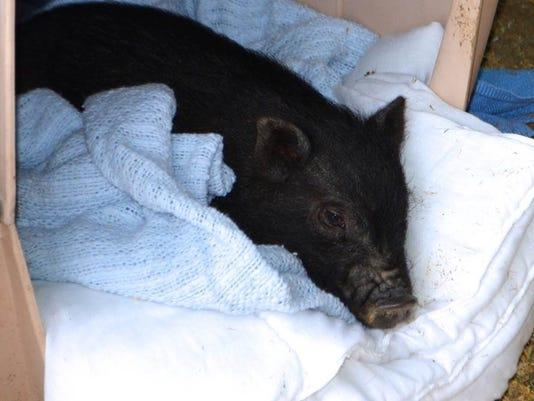 Paisley the Pig.jpg