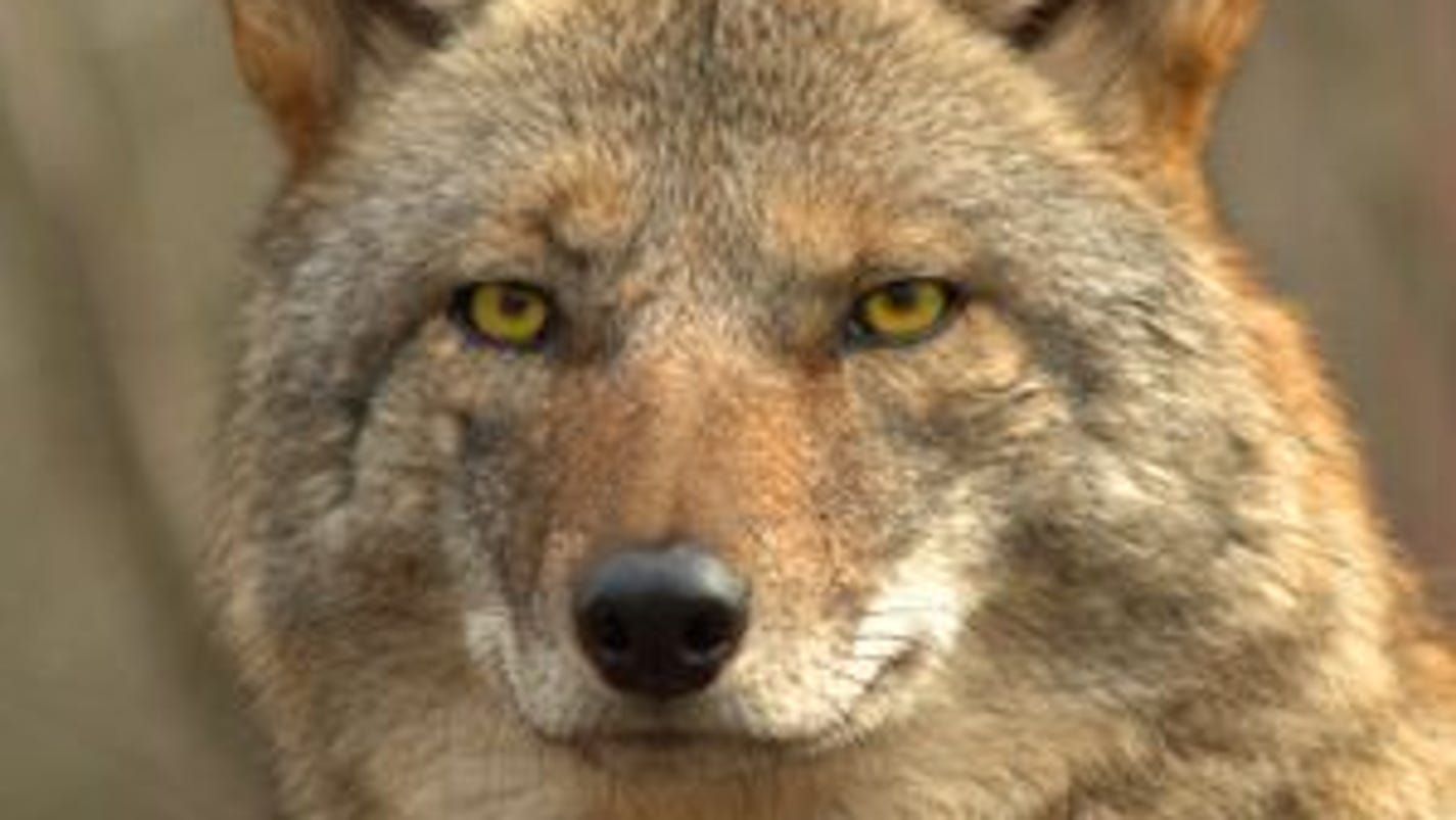 michigan coyotes more visible than usual dnr warns. Black Bedroom Furniture Sets. Home Design Ideas