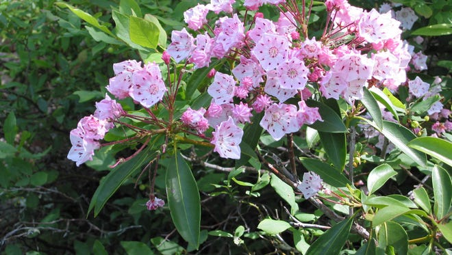 Mountain laurel starts blooming in early June. Deer eat it but only so much given that the blooms are poisonous.