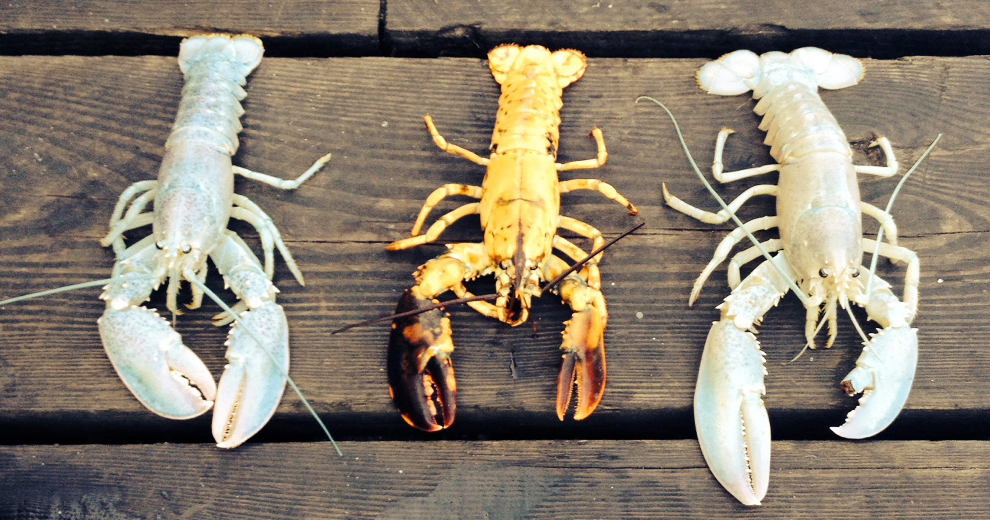 2 Of Rarest Of All Lobsters Caught 5 Days Apart