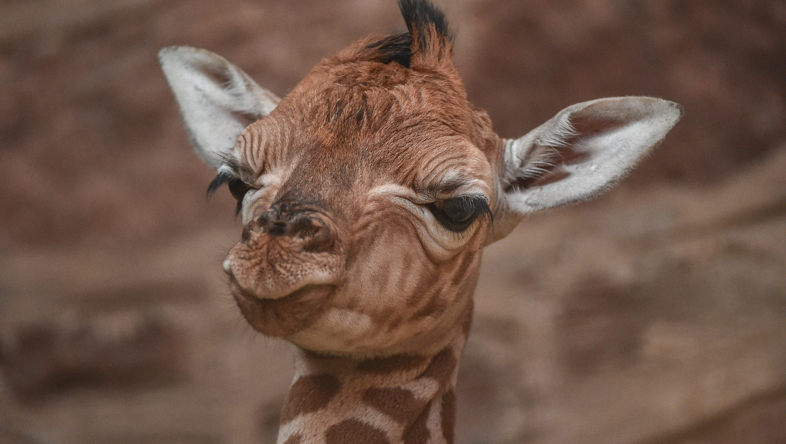 a giraffe was born but not the one we u0027ve all been waiting for