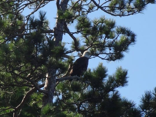 Bald eagles tend to nest along the many lakeshores in Voyageurs National Park, Minnesota.