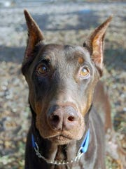 Doberman Pinschers are popular guard dogs but some insurance companies don't like them.