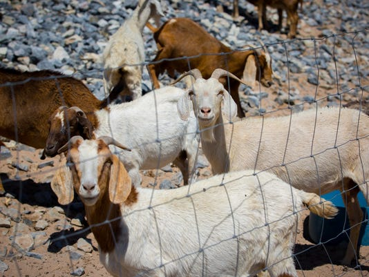 052716 Alpacas and Goats at Las Cruces Dam