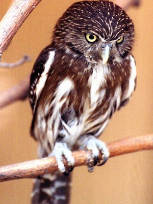 The Center for Biological Diversity and the Defenders of Wildlife sent a letter to the U.S. Fish and Wildlife Service on Monday saying the agency's new policy denies protection for the cactus ferruginous pygmy owl and violates the Endangered Species Act.