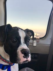 Sophia, an overly anxious dog whose behavior problems make her unadoptable, seemed to enjoy flying. She's seen here Dec. 13 on a flight to South Carolina to see a dog trainer/behaviorist. The puppy is a rescue of East Tennessee Boxer Rescue.