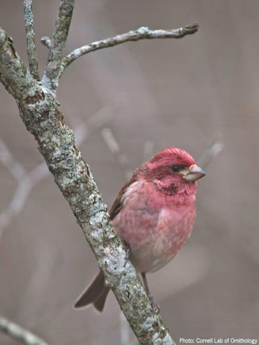 636147232131805253-Male-Purple-Finch.jpg