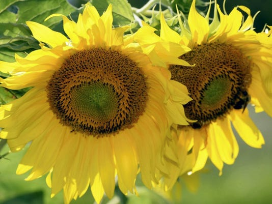 Sunflower hearts are one of the favorite foods for birds.