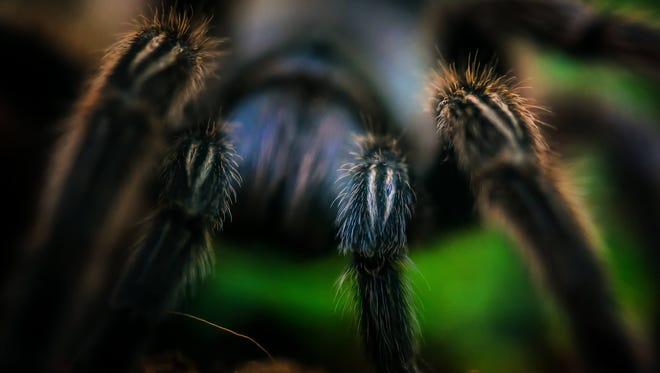 This Rose Hair Terantula is one of many smaller animals that live in the Education Building of the Brandywine Zoo and used for school programs, special events and summer camp.