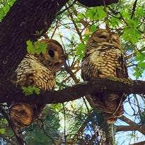 Smokey's corner: In Search of Mexican spotted owls