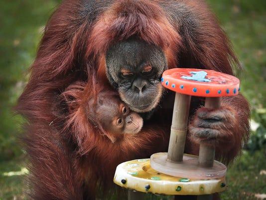 636293415687712512-orangutan.jpg
