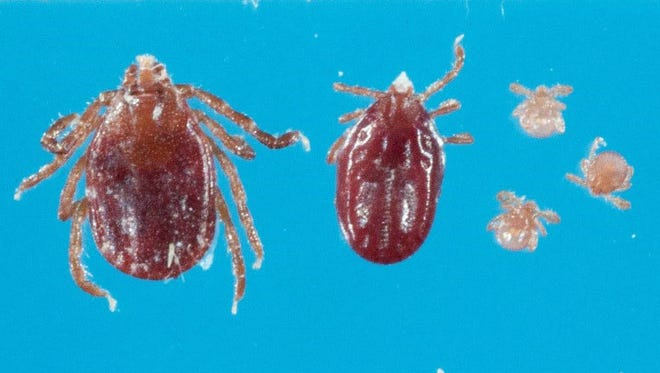 A photo of the East Asian tick, also known as the longhorn tick or bush tick, which was found on a farm in Hunterdon County on Nov. 9.