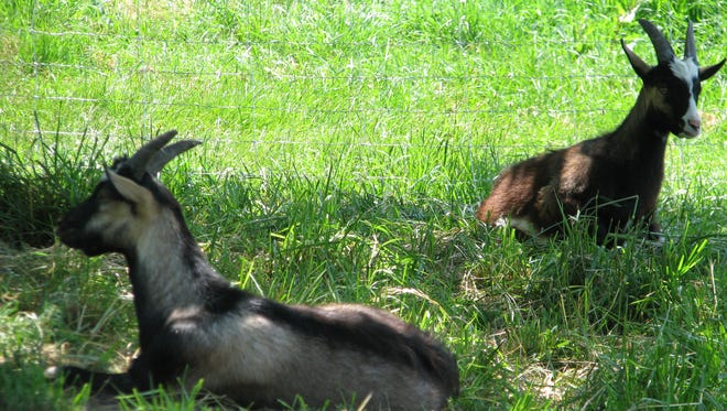 Goats take advantage of shade on a hot summer day in southern France.
