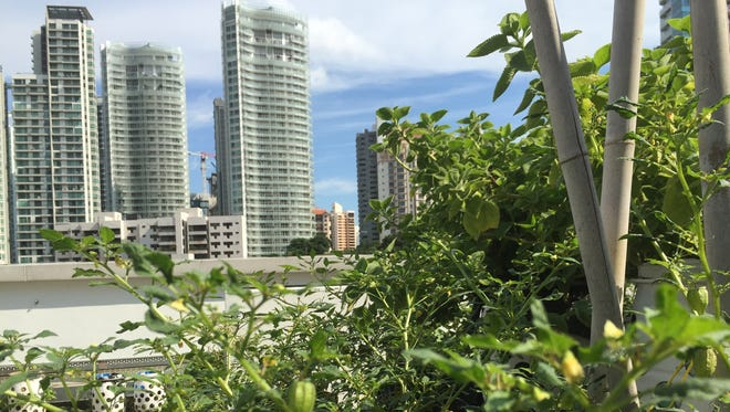 Tomatillos, also known as husk tomatoes, grow at Comcrop, a rooftop farm located on Singapore's Orchard Street.