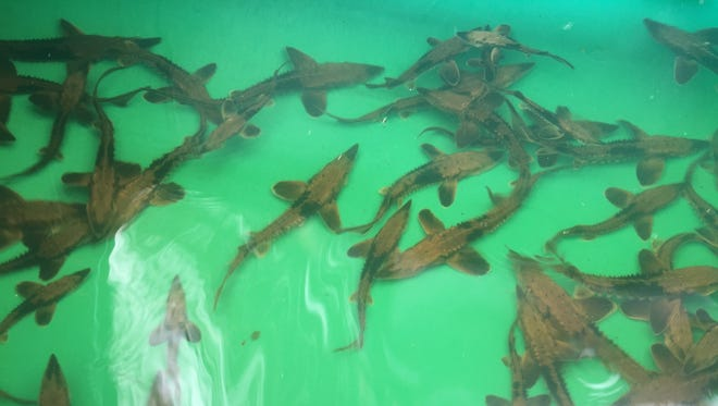 About 950 baby sturgeon were released into the Genesee River in October.