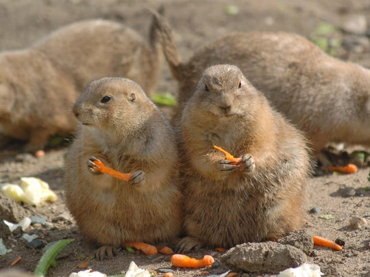 Prairie dogs ramp up the cute factor inside the Pine Grove Zoo in Little Falls.